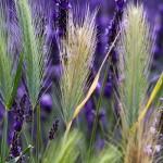 04. Frankrijk - Drome - lavendel
