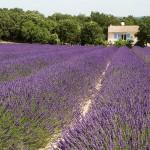 05. Frankrijk - Drome - lavendel