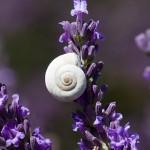 09. Frankrijk - Drome - lavendel