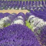 11. Frankrijk - Drome - lavendel