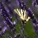 12. Frankrijk - Drome - lavendel