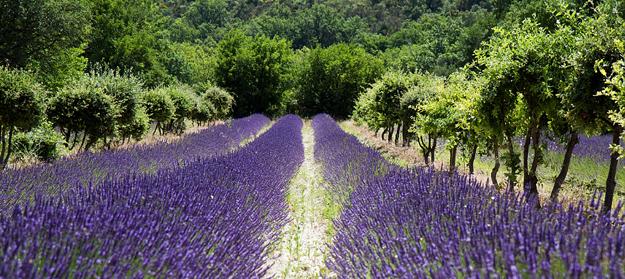 Drome-lavendel